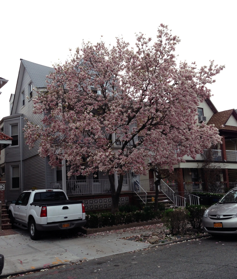 Cherry blossom in the neighborhood